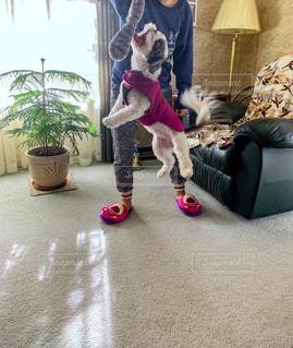 おもちゃに向かってジャンプする犬の写真・画像素材[2712887]