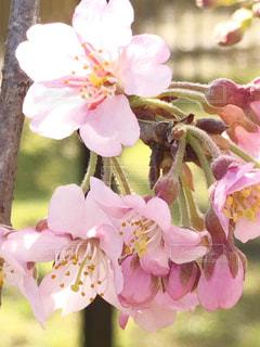 花,桜,ピンク,花びら,草木