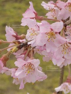 花,桜,ピンク,しだれ桜,草木