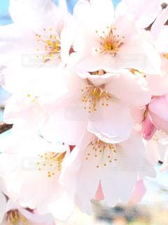花,桜,ピンク,たくさん,草木,ソメイヨシノ,さくら