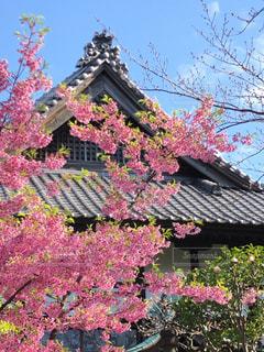 風景,建物,花,桜,屋外,ピンク,樹木,屋根,さくら,早咲き桜