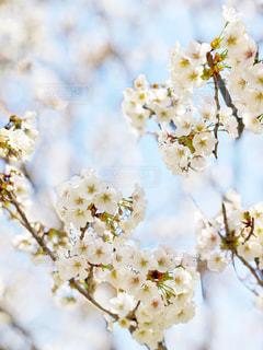 花,草木,桜の花,さくら,白かった