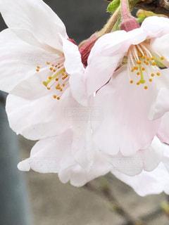 花,桜,屋外,花びら,ソメイヨシノ,さくら