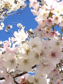 花,春,青空,景色,草木,桜の花,さくら