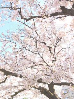 花,屋外,樹木,草木,桜の花,ソメイヨシノ,さくら
