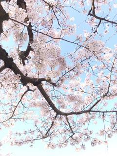 空,花,春,屋外,枝,樹木,桜の花,ソメイヨシノ,さくら