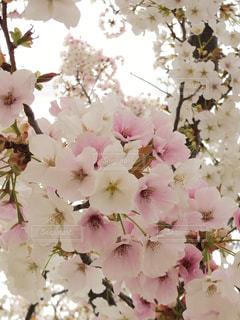 花,春,ピンク,花束,鮮やか,草木,桜の花,さくら