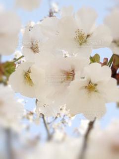 空,花,春,桜,ソメイヨシノ,さくら