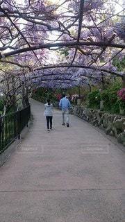 家族,2人,花,屋外,後ろ姿,フジ,樹木,背中,後姿,トンネル,父,娘