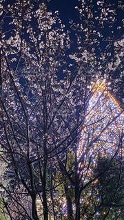 桜,イルミネーション,お台場