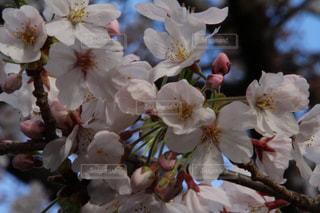 花,春,桜,木,花見,景色,サクラ,つぼみ,お花見,イベント,蕾,草木,桜の花,さくら,ブルーム,ブロッサム,フローラ