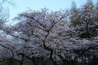 自然,空,花,春,桜,木,屋外,花見,満開,樹木,お花見,イベント,草木,桜の花,さくら,ブロッサム,オーク