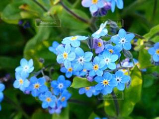 青い花の写真・画像素材[3067773]
