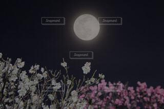 満月の夜の梅の写真・画像素材[4292281]