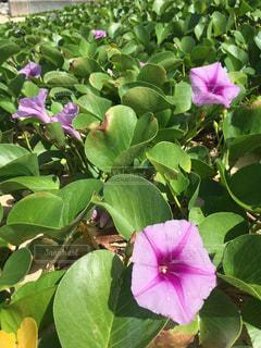 花,ピンク,緑,植物,砂浜,水滴,水玉,雫,しずく