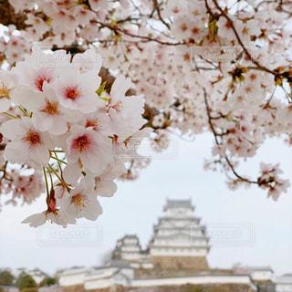 花,春,桜,屋外,城,花見,姫路城,草木,桜の花,桜のアップ,さくら,ブロッサム
