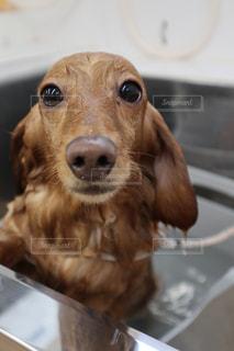 犬,動物,かわいい,水,帽子,茶色,水滴,景色,ペット,床,子犬,雫,ミニチュアダックス,しずく