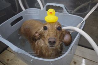 犬,動物,屋内,かわいい,水,帽子,茶色,水滴,景色,ペット,床,子犬,雫,ミニチュアダックス,見つめる,しずく