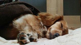 犬,屋内,かわいい,帽子,茶色,景色,ペット,床,子犬,ミニチュアダックス,探す,身に着ける,ゴールデン ・ リトリーバー