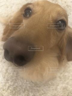 犬,動物,屋内,かわいい,茶色,景色,ペット,人物,人,癒し,可愛い,子犬,ミニチュアダックス,見つめる,カーペット,ゴールデン ・ リトリーバー