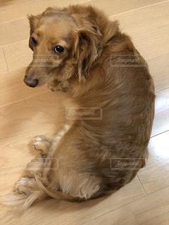 犬,動物,屋内,かわいい,後ろ姿,ミニチュア,床,背中,子犬,ミニチュアダックス,後ろ,ゴールデン ・ リトリーバー