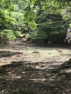 森の中のシカの写真・画像素材[2103901]