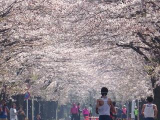 桜  満開の中  マラソン大会の写真・画像素材[2124252]