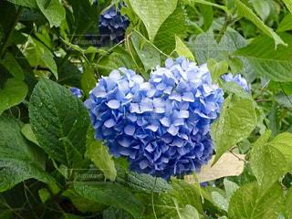 ハート形の紫陽花の写真・画像素材[2131046]
