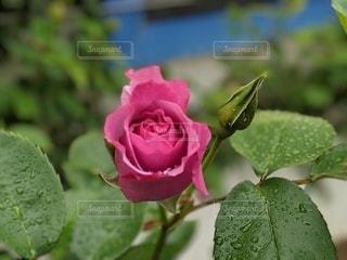 花,水,水滴,バラ,景色,花びら,蕾,雫,生きる,生命力,草木