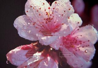 風景,花,雨,屋外,ピンク,水,水滴,樹木,水玉,雫,桃,しずく,フォトジェニック,ブロッサム