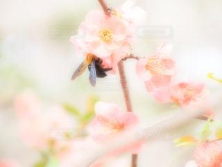 花,春,桜,ピンク,かわいい,花びら,蜂,可愛い,お洒落,パステルカラー,ほんわか,草木,おしゃれ,フォトジェニック,ブルーム,ほわほわ,ファンシー,ブロッサム