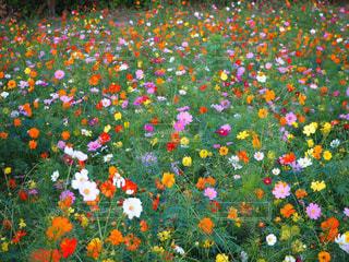 野原の黄色い花の写真・画像素材[2121675]
