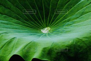 緑の葉の接写の写真・画像素材[2110119]