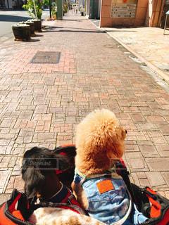 犬,自然,晴れ,後ろ姿,癒し,可愛い,子犬,プードル,ダックス,ミニチュアダックス,お散歩,ベビーカー,ワンワン,犬目線