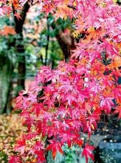 秋,紅葉,葉,景色,鮮やか,草木