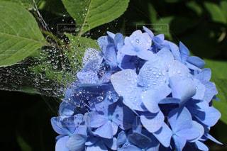 花,あじさい,水,水滴,紫陽花,水玉,雨上がり,雫,しずく,アジサイ,フォトジェニック