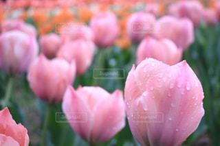 花,ピンク,水,水滴,草,水玉,雫