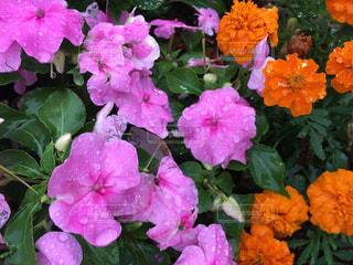屋外,ピンク,オレンジ,雨上がり,マリーゴールド