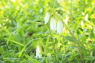 白い花の写真・画像素材[2152754]