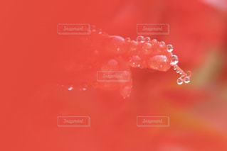花,赤,かわいい,水,水滴,Instagram,ふわふわ,キラキラ,水玉,可愛い,玉,雫,はな,red,雰囲気,作品,植物園,canon,あか,しずく,インスタグラム,きらきら,ハナ,華,カワイイ,キレイ,フワフワ,cannon,インスタ映え,小さな世界,液滴