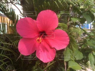 木からぶら下がっている赤い花の写真・画像素材[2142008]