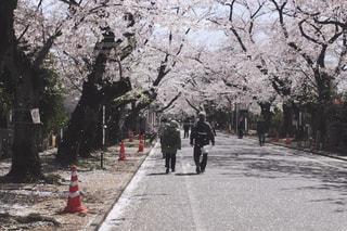 春,桜,カップル,後ろ姿,桜並木,夫婦,桜吹雪