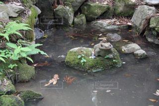 鞍馬山山中のカエルの写真・画像素材[2139401]