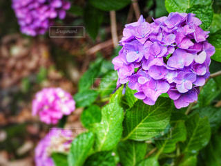 花,雨,屋外,フラワー,景色,紫陽花,雫,梅雨,天気,雨の日