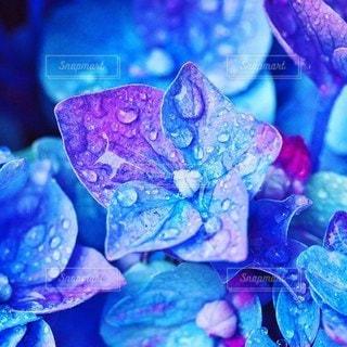 紫陽花の写真・画像素材[2226949]