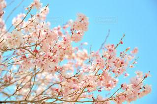 花,春,屋外,花見,樹木,カラー,桜の花,さくら,ブロッサム