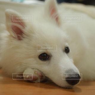小さな白い犬の写真・画像素材[2282817]