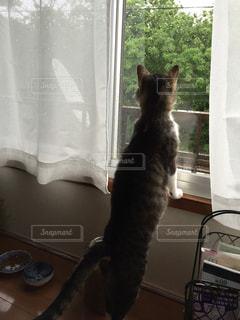 猫,後ろ姿,窓,ネコ,オス猫,キジ白