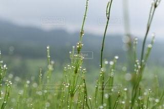 子ども,家族,自然,草,朝,露,グリーン,ドロップ,朝露,草木