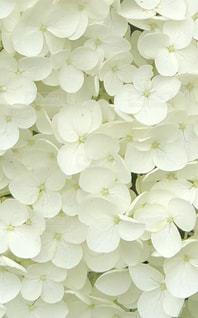 花,雨,緑,白,鮮やか,梅雨,ライフスタイル,草木,インスタ,インスタ映え